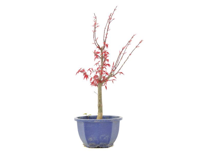 Acer palmatum Deshojo, 36,5 cm, ± 6 jaar oud