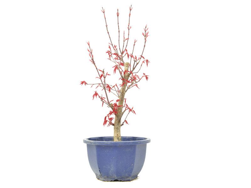 Acer palmatum Deshojo, 32,5 cm, ± 6 jaar oud