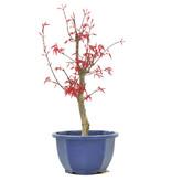 Acer palmatum Deshojo, 30 cm, ± 6 jaar oud