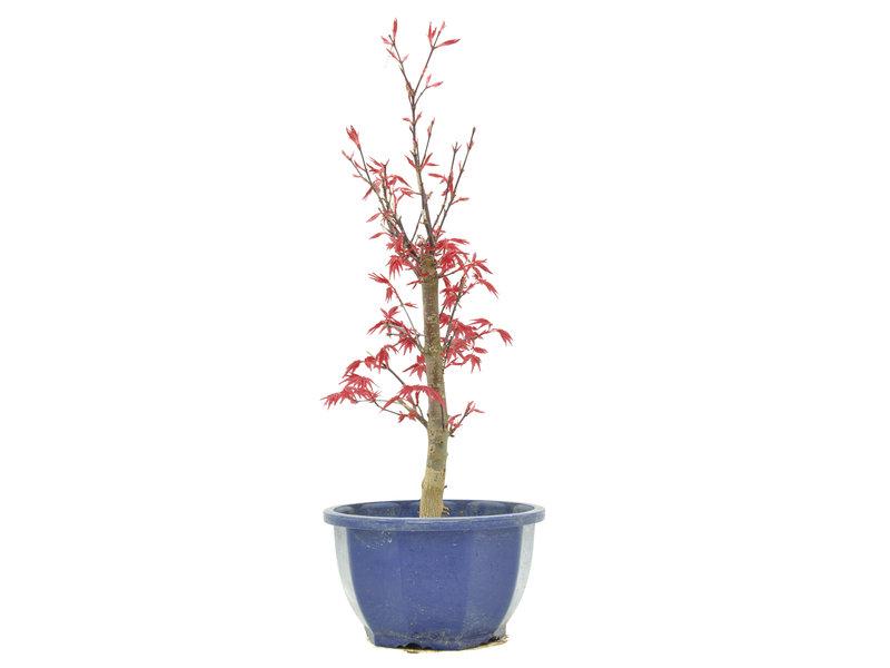 Acer palmatum Deshojo, 33,5 cm, ± 6 jaar oud