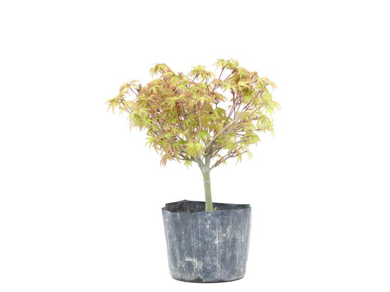 Acer palmatum Kiyohime, 20 cm, ± 6 jaar oud