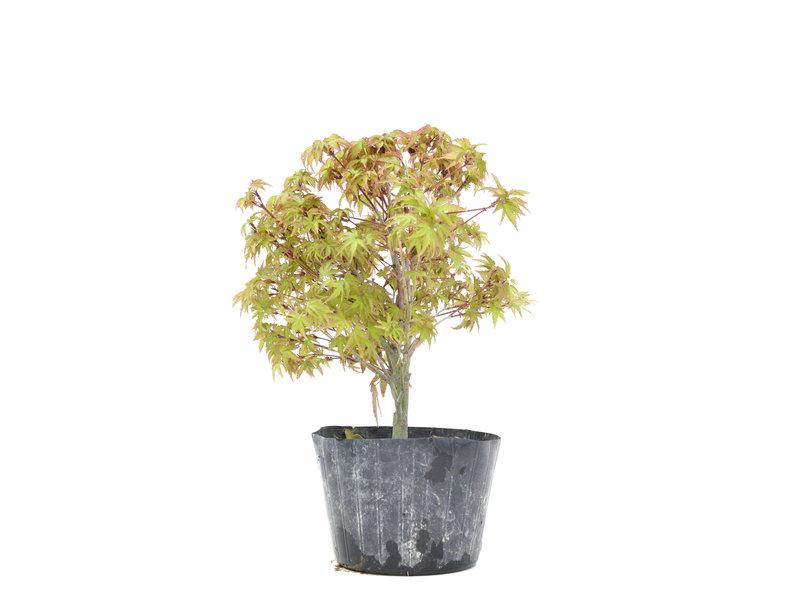 Acer palmatum Kiyohime, 23 cm, ± 6 jaar oud