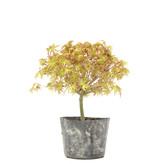 Acer palmatum Kiyohime, 19 cm, ± 6 jaar oud