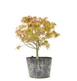Acer palmatum Kiyohime, 21 cm, ± 6 jaar oud