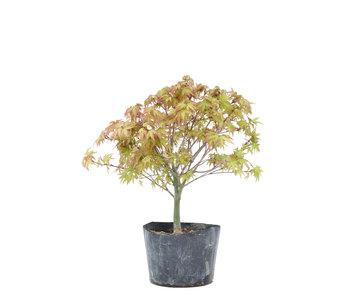 Acer palmatum Kiyohime, 23,5 cm, ± 6 years old