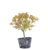 Acer palmatum Kiyohime, 23,5 cm, ± 6 jaar oud