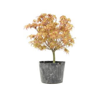 Acer palmatum Kiyohime, 23 cm, ± 6 years old