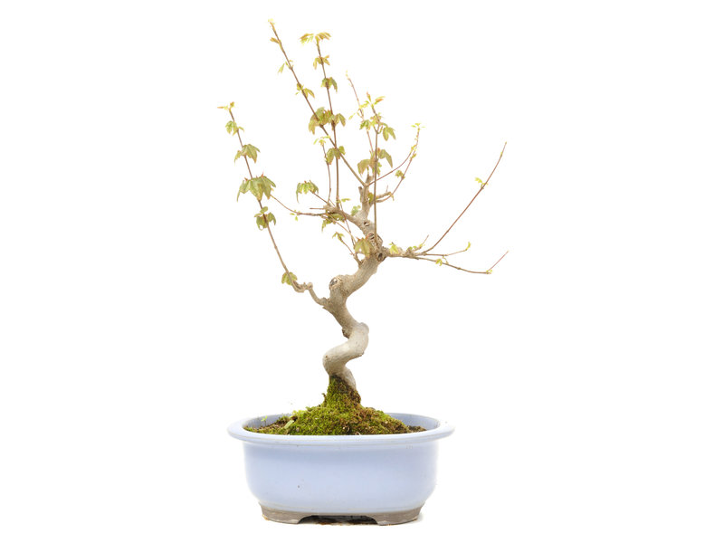 Acer buergerianum, 30 cm, ± 15 years old
