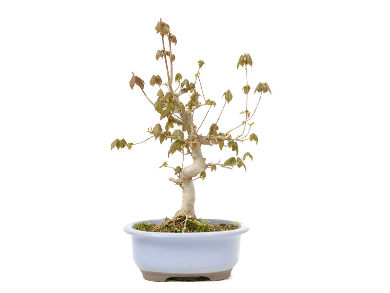 Acer buergerianum, 29 cm, ± 15 jaar oud