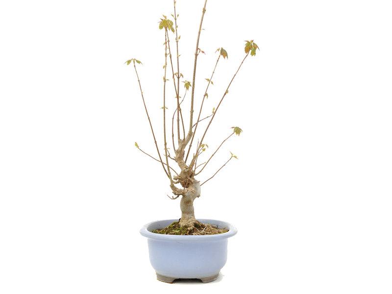 Acer buergerianum, 53,5 cm, ± 15 jaar oud