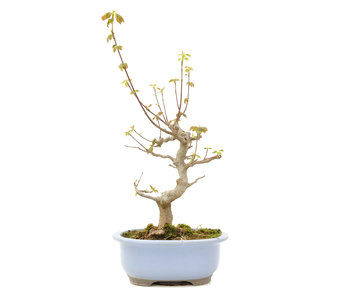 Acer buergerianum, 34 cm, ± 15 years old
