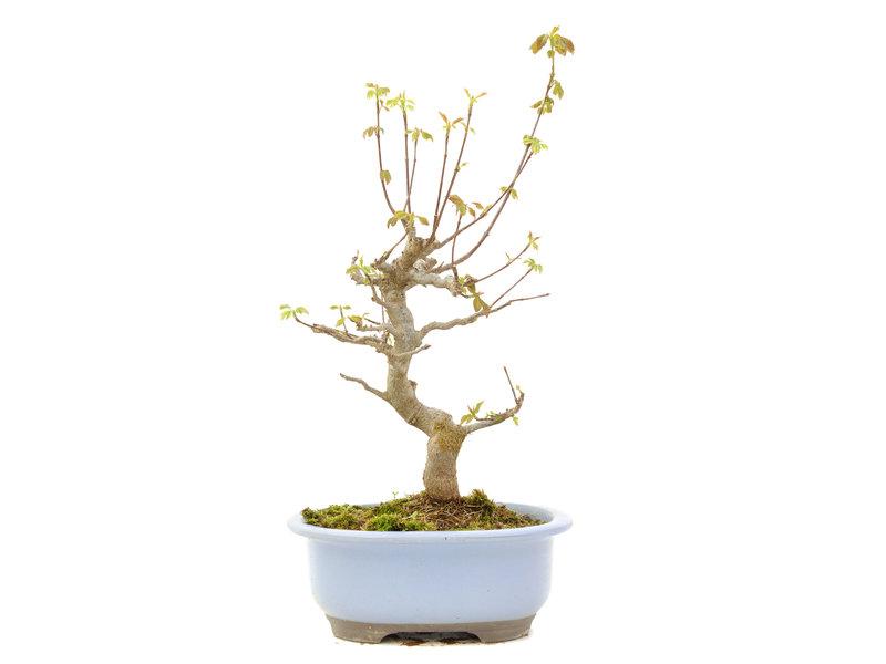 Acer buergerianum, 34 cm, ± 15 jaar oud