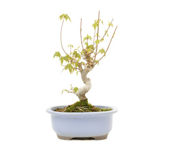 Acer buergerianum, 24 cm, ± 15 years old