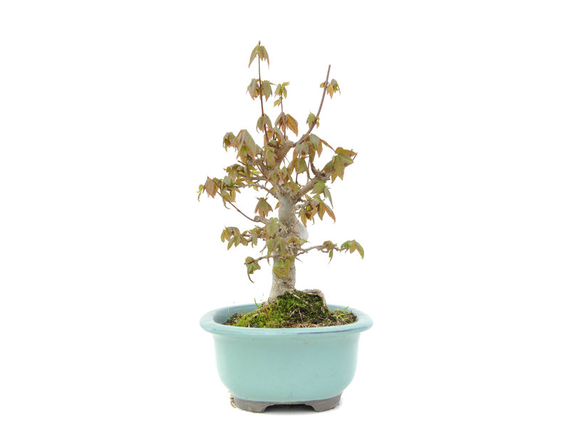 Acer buergerianum, 22 cm, ± 15 years old