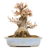 Acer buergerianum, 15,5 cm, ± 15 jaar oud, in een pot met een chip van de rand mist een voet