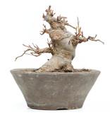 Acer buergerianum, 12,5 cm, ± 20 jaar oud