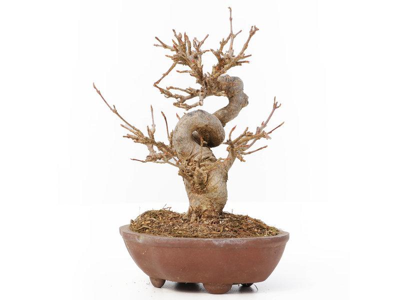 Acer buergerianum, 13 cm, ± 12 jaar oud