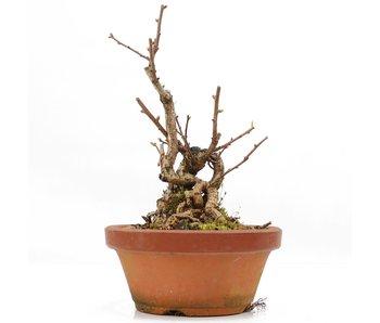 Celastrus orbiculatus, 17,5 cm, ± 8 jaar oud