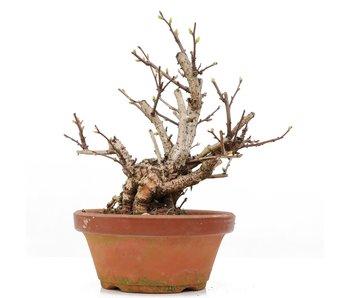 Celastrus orbiculatus, 18 cm, ± 8 jaar oud