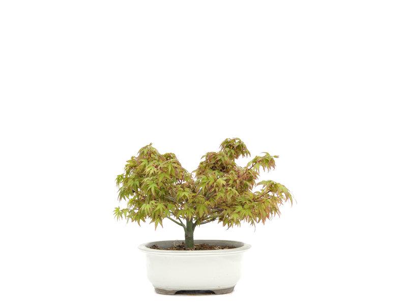 Acer palmatum Kiyohime, 18,5 cm, ± 6 jaar oud