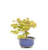 Acer palmatum Kiyohime, 35 cm, ± 6 jaar oud