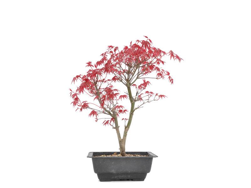 Acer palmatum Deshojo, 35 cm, ± 8 jaar oud