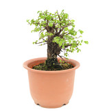 Ulmus parvifolia Nire, 19 cm, ± 8 jaar oud
