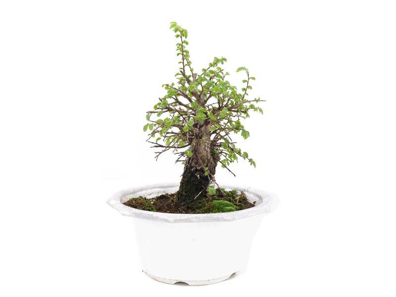 Ulmus parvifolia Nire, 16 cm, ± 8 jaar oud