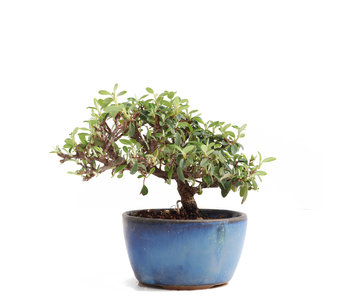 Cotoneaster horizontalis, 10 cm, ± 6 years old