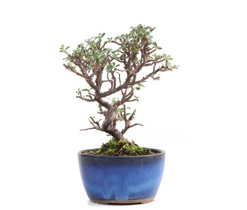 Cotoneaster horizontalis, 14 cm, ± 6 years old