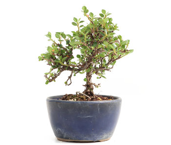 Cotoneaster horizontalis, 11,5 cm, ± 6 years old