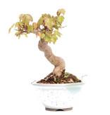 Acer buergerianum, 14,7 cm, ± 25 jaar oud