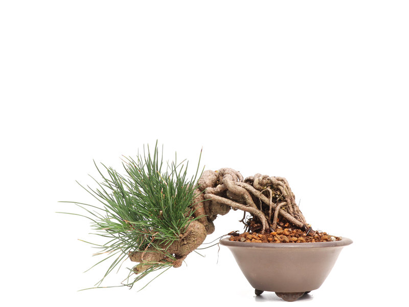 Pinus thunbergii Neagari, 15,5 cm, ± 20 jaar oud