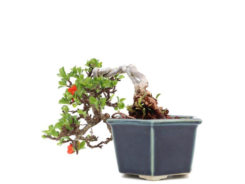 Chaenomeles speciosa Chojubai neagari, 13,5 cm, ± 25 jaar oud, met rode bloemen en gele bessen