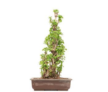 Gingko Biloba, 55,5 cm, ± 25 años