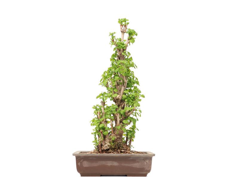 Gingko Biloba, 55,5 cm, ± 25 jaar oud