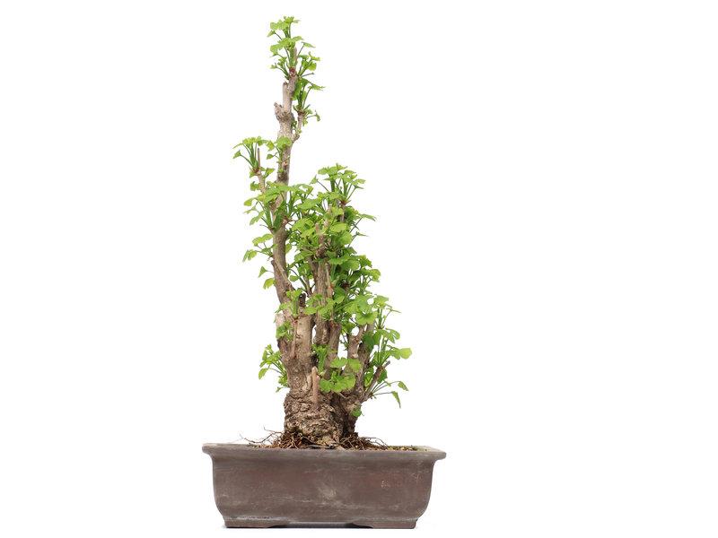 Gingko Biloba, 49 cm, ± 25 jaar oud