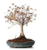 Zelkova serrata, 20,5 cm, ± 20 jaar oud