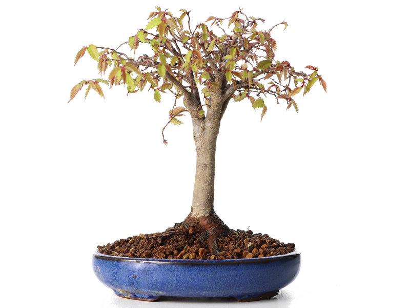 Zelkova serrata, 17,5 cm, ± 20 jaar oud