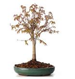 Zelkova serrata, 23,5 cm, ± 20 jaar oud