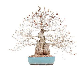 Carpinus coreana, 45 cm, ± 40 años