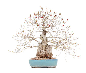 Carpinus coreana, 45 cm, ± 40 jaar oud