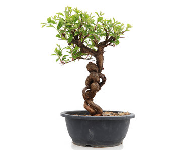 Prunus, 33 cm, ± 25 years old