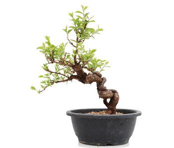 Prunus, 33 cm, ± 25 jaar oud