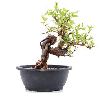Prunus, 27 cm, ± 25 jaar oud