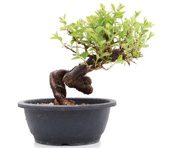 Prunus, 25 cm, ± 25 jaar oud