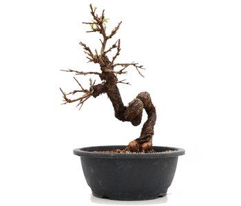 Prunus, 30 cm, ± 25 jaar oud