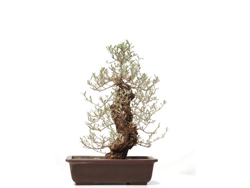 Eleagnus Pungens, 60,5 cm, ± 25 jaar oud