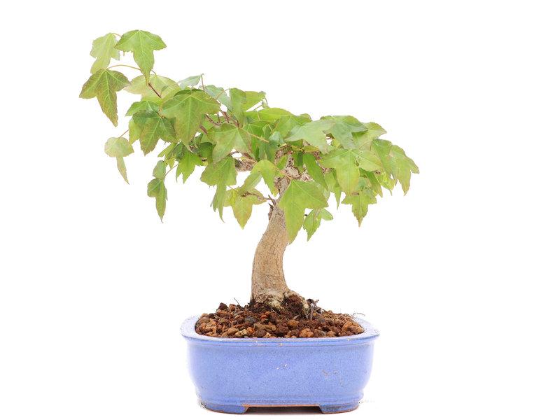 Acer buergerianum, 13 cm, ± 20 jaar oud