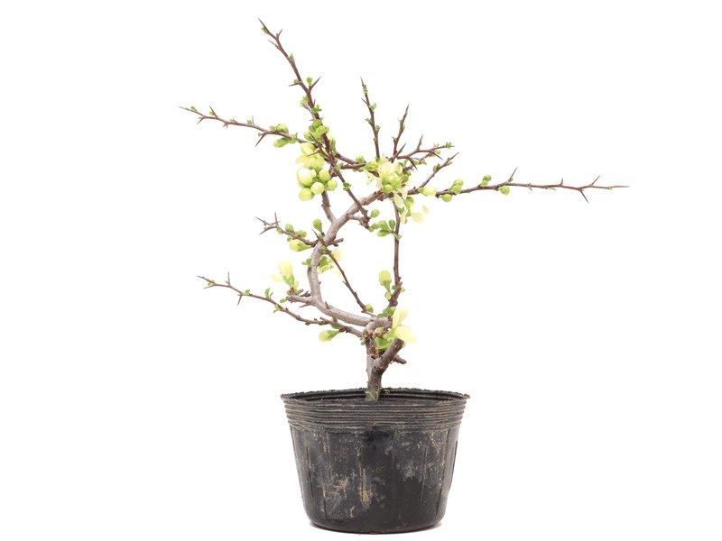 Chaenomeles speciosa, 23 cm, ± 5 jaar oud, met witte bloemen en gele vruchten